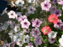 petunia mix in a pot