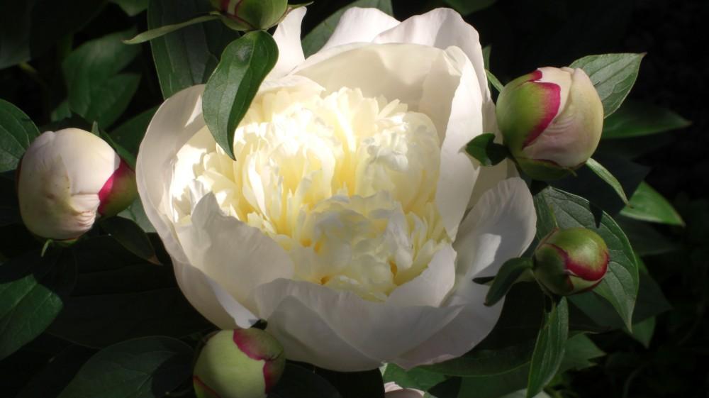 peony white buds