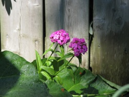 sweet william in shade