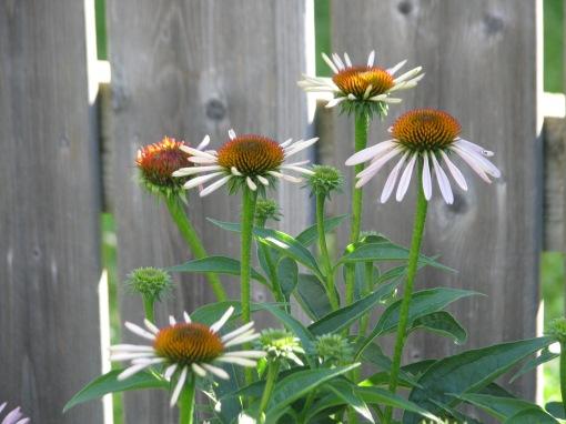 Echinicea near the back fence