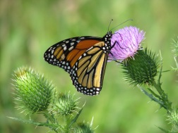 monarch butterfly on thistle blossom